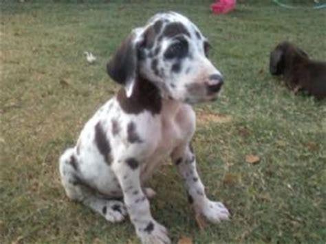 great dane puppies for sale az great dane puppies in arizona