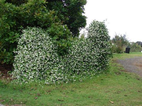 falso gelsomino in vaso rincospermum ricanti coltivare rincospermo