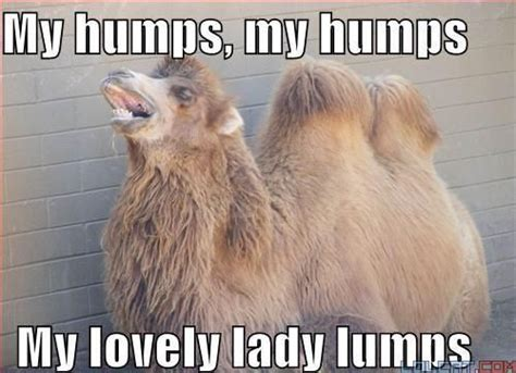 My Lovely Goldenbleu Humps by Hump Day My Humps My Humps My Lovely Camel Humps
