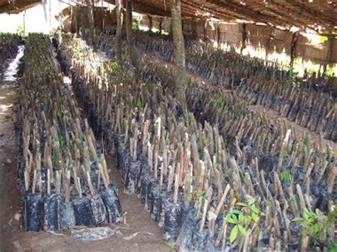 Bibit Karet Stum Mata Tidur athifa agro usaha dan budi daya bibit tanaman