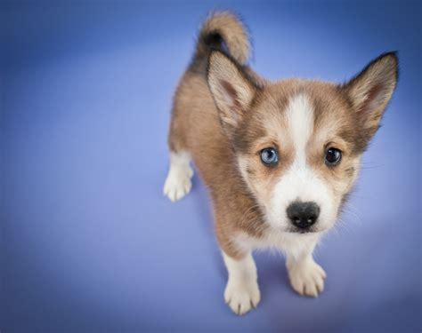 free small puppies houston corgi grown hd breeds picture
