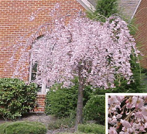 dwarf dogwood varieties as beautiful world flowers