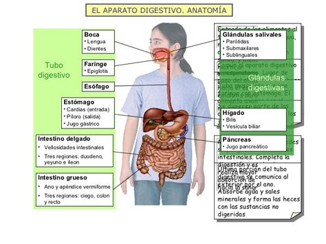 glandula submaxilar anatomia el aparato digestivo anatom 205 a tubo digestivo gl 225 ndulas