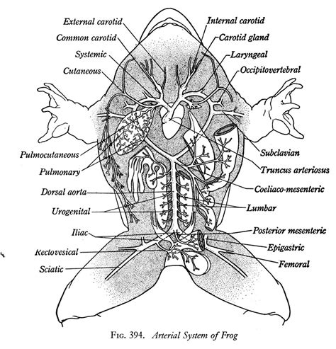 frog anatomy diagram frog dissection diagram labeled digestive system similiar