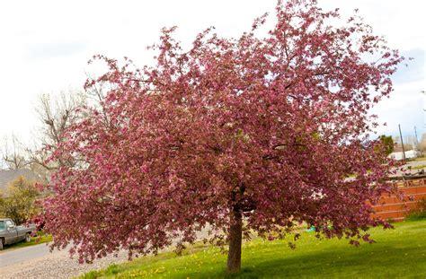 lowe family blog flowering crab apple tree
