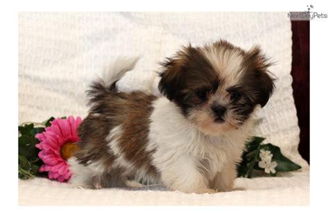 princess shih tzu for sale princess shih tzu puppy for sale near lancaster pennsylvania e07b8a0d 23b1