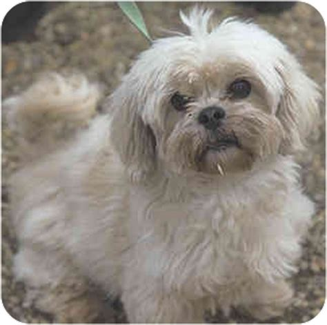 maltese shih tzu rescue dogs cookie adopted princeton nj maltese shih tzu mix