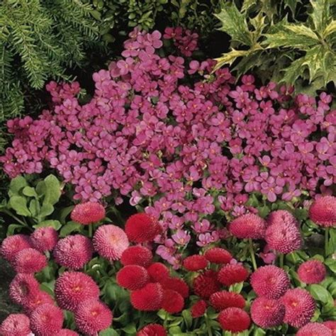 compinkie wall rockcress is an evergreen spreading perennial ground cover grown from seeds
