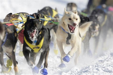 alaskan sled race top images from the 2017 iditarod sled race