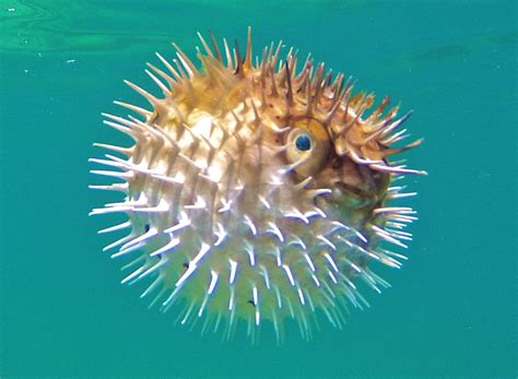 Balon Nemo Balon Ikan balloonfish mexico fish marine birds and