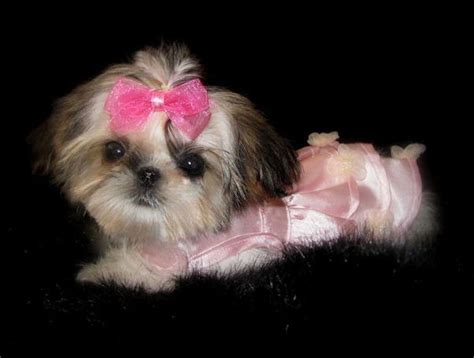 sweet tooth shih tzu 86 best images about shih tzus on yorkie shih tzus and for sale