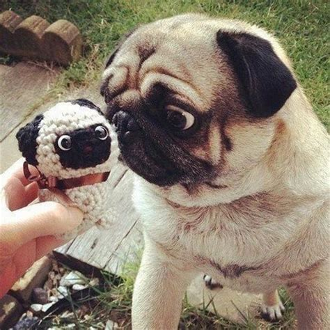 silly pug animals pug expression dump a day