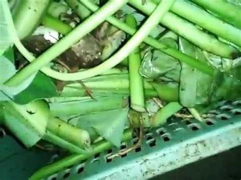 Pakan Lele All Feed cara membuat pakan alternatif lele dengan batang talas