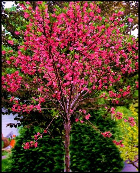 small pink tree marion jarvie flowering a small fruitless tree
