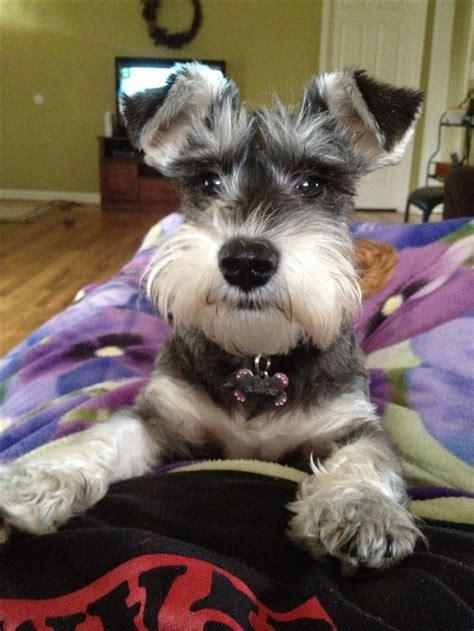 mini schnauzer haircut puppies pinterest a month zoey at six months i schnauzer pinterest 귀여운 동물 강아지