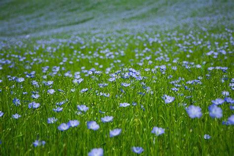 fiori di lino lino