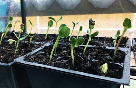 Bibit Benih Seeds Bunga Matahari Black Sunflower Mudah Tumbuh panduan lengkap teknik budidaya bunga matahari bibit