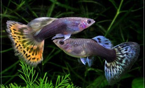 Ternak Kutu Air Pakan Ikan ternak ikan hias mudahnya beternak ikan guppy
