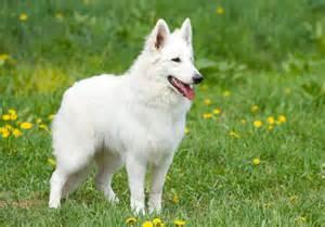races de chien pr 233 sentation en d 233 par mouss