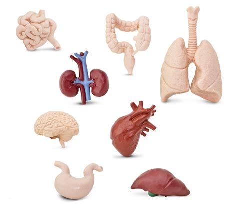 imagenes reales de organos del cuerpo humano figuras de los 243 rganos del cuerpo humano