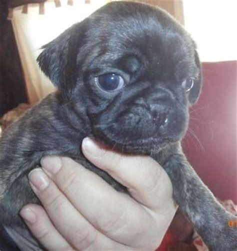 pug for sale melbourne pug puppies for sale for sale adoption from melbourne adpost