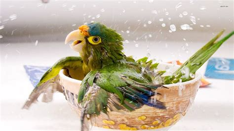 baby parrot beautiful birds wallpaper
