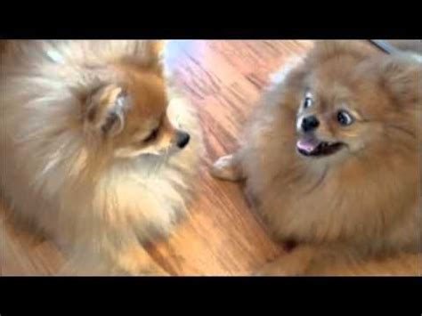 pomeranian sneezing 11 best dogs images on adorable animals fluffy pets and dogs