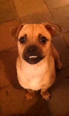pug with dentures doggie dentures on doggies animal faces and