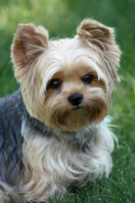 how often do yorkies white and black teacup yorkie www pixshark images galleries with a bite