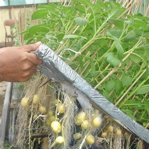 Budidaya Bertanam Melon budidaya tanaman secara hidroponik bertanam hidroponik