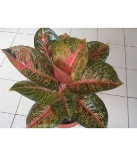 jual tanaman hias aglonema aglaonema harga terbaru