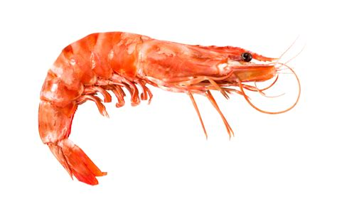 shrimp blast into space from arctic sweden eye on the arctic