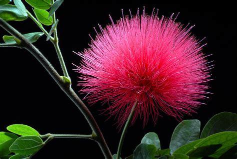 Floweri Puff pink powder puff flower photograph by dung ma