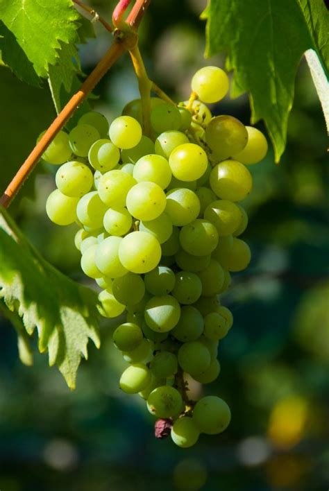 fruit vines which fruits grow on vines slideshow