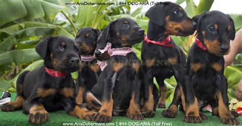puppies houston puppies for sale photos dobermans