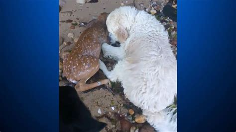 golden retriever saves fawn golden retriever rescues fawn struggling in harbor 171 cbs pittsburgh