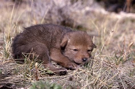 coyote puppy yellowstone s photo collection