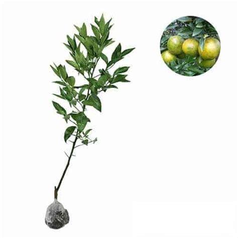 Jual Bibit Gurame Garut jual tanaman jeruk keprok garut bibit
