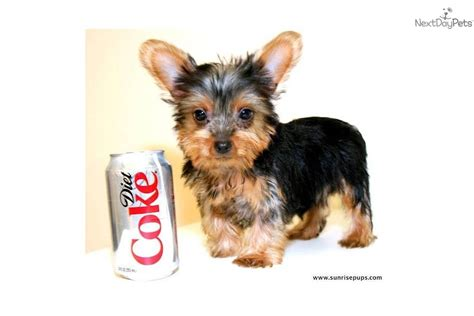 what age is a yorkie puppy grown yorkie puppies gorgeous photo of the 4 puppies at the age of 6 breeds picture