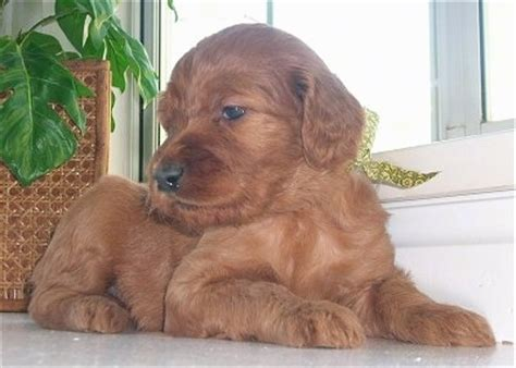setter doodle rescue irish doodle dog breed information and pictures