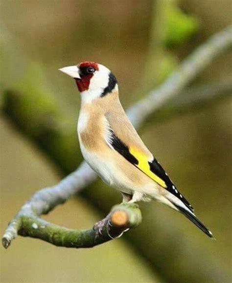 534 best images about carduelis carduelis on pinterest