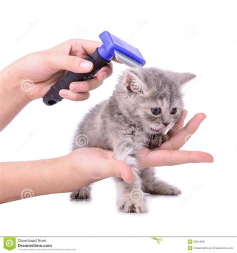 Kitten Shedding by Kitten Grooming Comb Stock Image Image 35814031