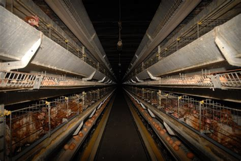allevamento galline in gabbia coordinamento lam la gallina e il suo uovo dal sito dei