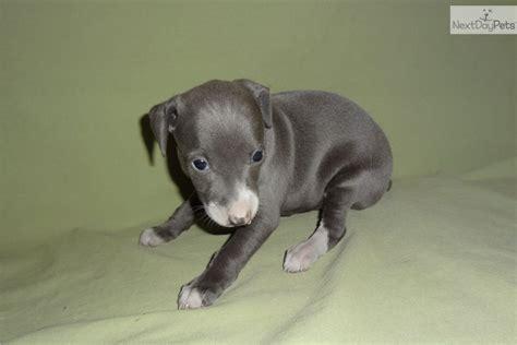 greyhound puppy for sale italian greyhound puppies in missouri italian greyhound puppies in breeds picture