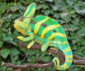 veiled chameleon colors premium high color baby veiled chameleons for sale