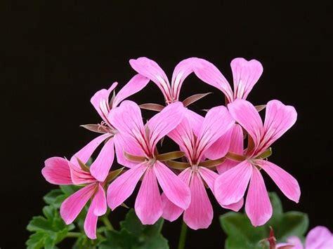 pelargonium tuin geraniums in tuin en pot nieuws almeer plant