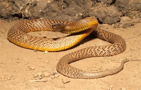 Inland Taipan Snake Images