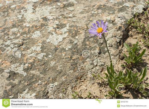 fiore deserto un fiore nel deserto fotografia stock immagine 58162764
