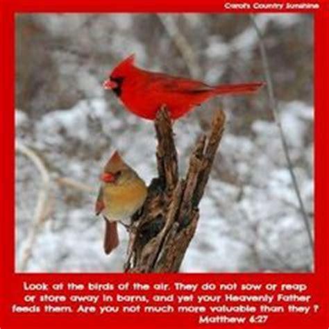 cardinals  pinterest cardinals cardinal birds  birds