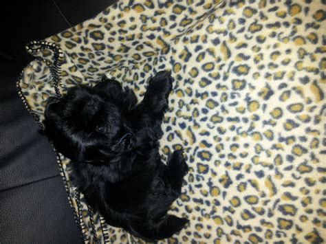 solid black shih tzu solid black shih tzu kc reg manchester greater manchester pets4homes